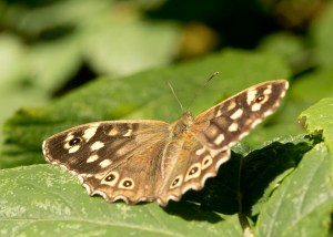 Speckled Wood (Pararge aegeria) ©Paul Lund, Faversham Gravel Pits 11 August 2018
