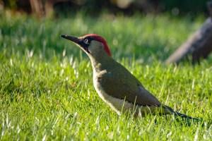 Green Woodpecker CC BY-NC-SA Peter Hassett, Shenley Church End, 21 October 2018