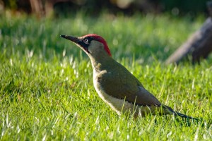 Green Woodpecker CC BY-NC-SA Peter Hassett, Shenley Church End, 21 October 2018