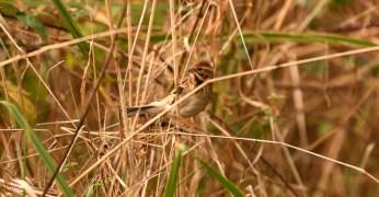Female Reed Bunting ©Soumen Nayak, Linford Lakes NR 10 December 2018
