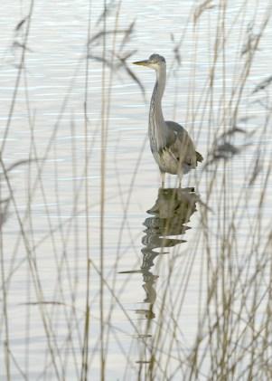 Grey Heron at Willen Lake North ©Paul Lund