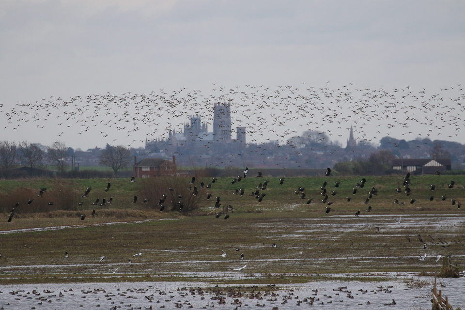 RSPB Ouse Washes with Ely cathedral in the background ©Julian Lambley 12 January 2019