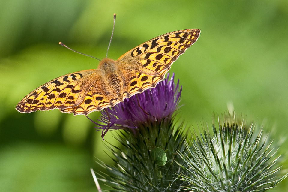 High Brown Fritillary by Peter Hassett, Silverdale 19 July 2009