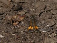 Light Orange Underwing Moth ©Harry Appleyard, Howe Park Wood 29 March 2019