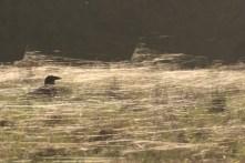 Crow in spider's webs taken against setting sun. ©Julian Lambley, Floodplain Forest NR, 26 Feb ruary 2019