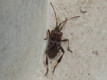 Western Conifer Seed Bug (Leptoglossus occidentalis) ©Mike LeRoy, Bradwell Common 23 March 2019
