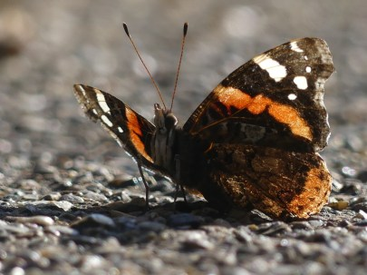 Red Admiral Butterfly ©Harry Appleyard, Howe Park Wood 29 March 2019