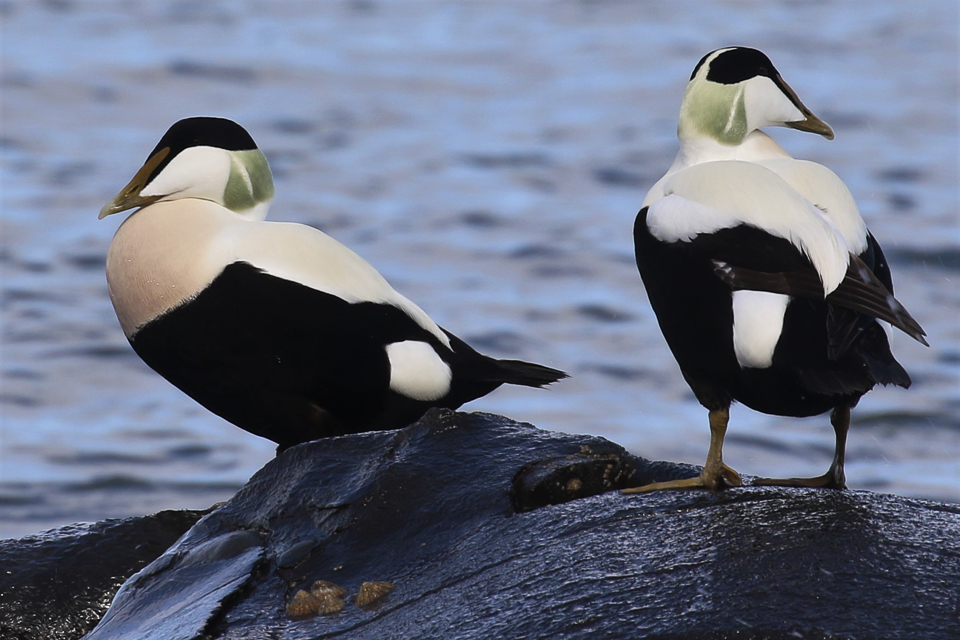 Eider Ducks ©Julian Lambley, Runswick Bay, N Yorkshire 28 March 2019.