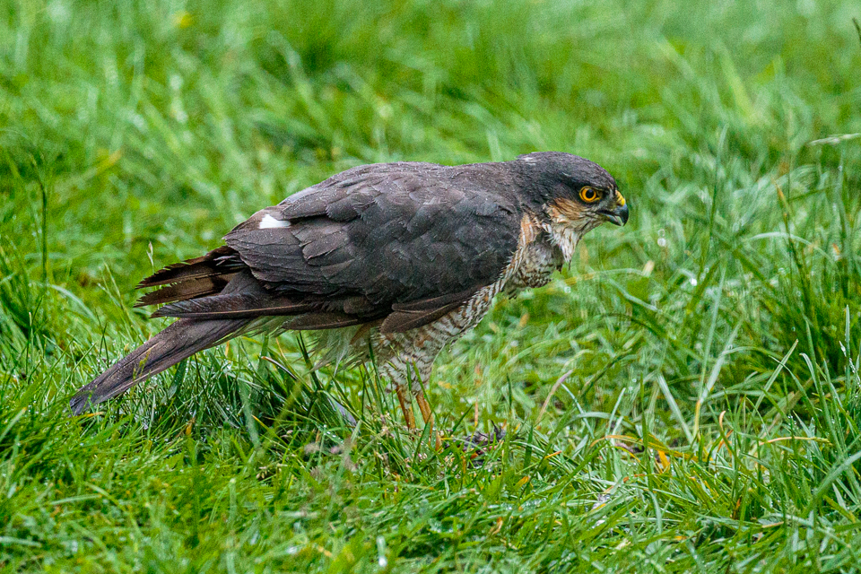Sparrowhawk CC BY_NC_SA Peter Hassett in garden, Shenley Church End 11 June 2019