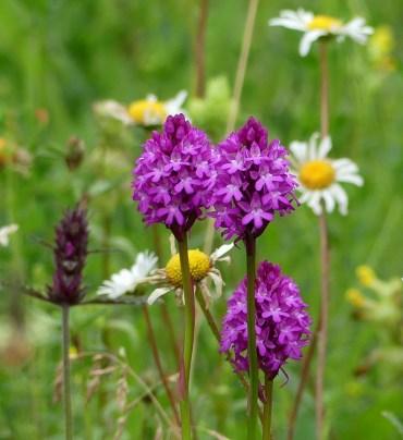 Pyramidal orchid ©Janice Robertson, Howe Park Wood 26 June 2019