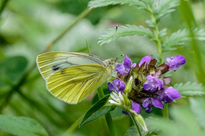 Green Veined White on Self-heal by Peter Hassett, Bucknell Wood 26 July 2019
