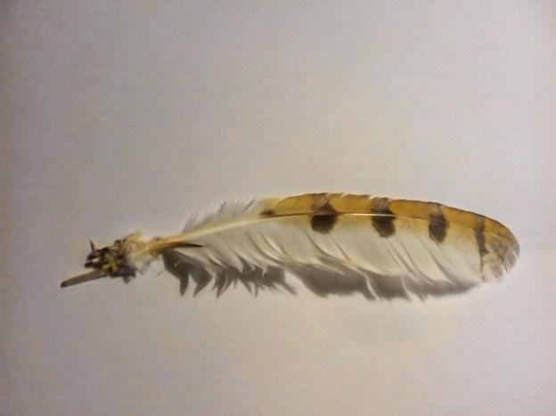 Barn owl feather ©Sue Hetherington, Floodplain Forest NR 17 July 2019