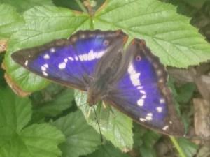Purple Emperor ©️Martin Kincaid, Shenley Wood 5 July 2019