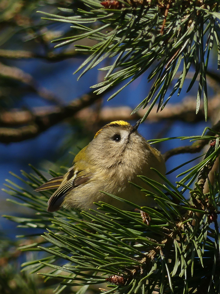 First place, Goldcrest ©Harry Appleyard, Rammamere Heath, 24 February 2019