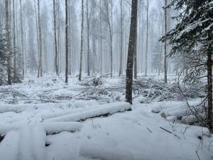 mežus izcērt vairāk