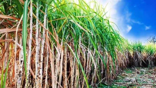 How the government is reviving the sugar industry and western Kenya regions