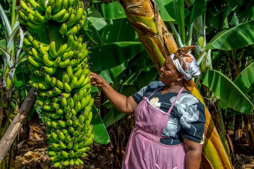 New banana variety to keep pests at bay by KALRO