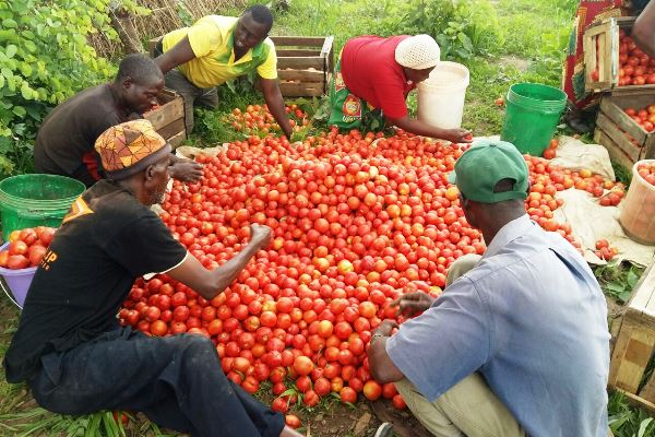Tips for tomatoes farming and a bumper harvest.