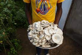 Mushroom Farming Business Idea mkulimatoday.com