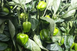 how to grow green pepper mkulimatoday.com