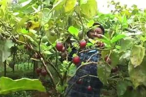 tree tomato farming mkulimatoday.com