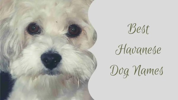 +100 Adorable Havanese dog names - Male & Female List