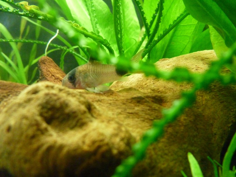 Corydoras catfish grazing off the wood