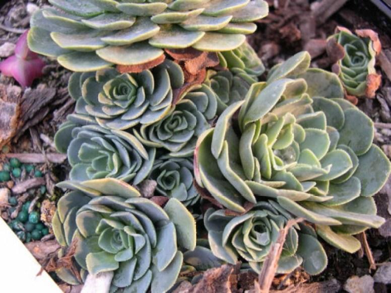 rosularia_sempervivum_glaucophylla_500px_1_-1
