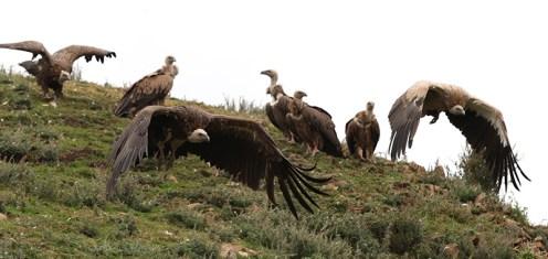 vulture-11