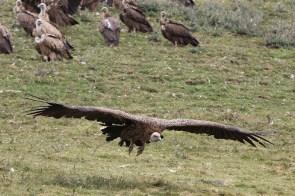 vulture-12