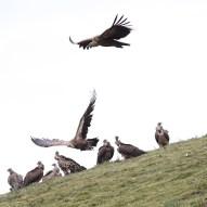 vulture-3