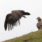 vulture-5