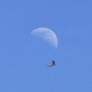 vulture-moon