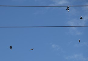 sparrowhawk-magpie-fight-8