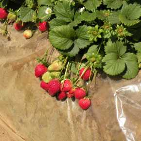 Strawberry fields forever in Carlsbad