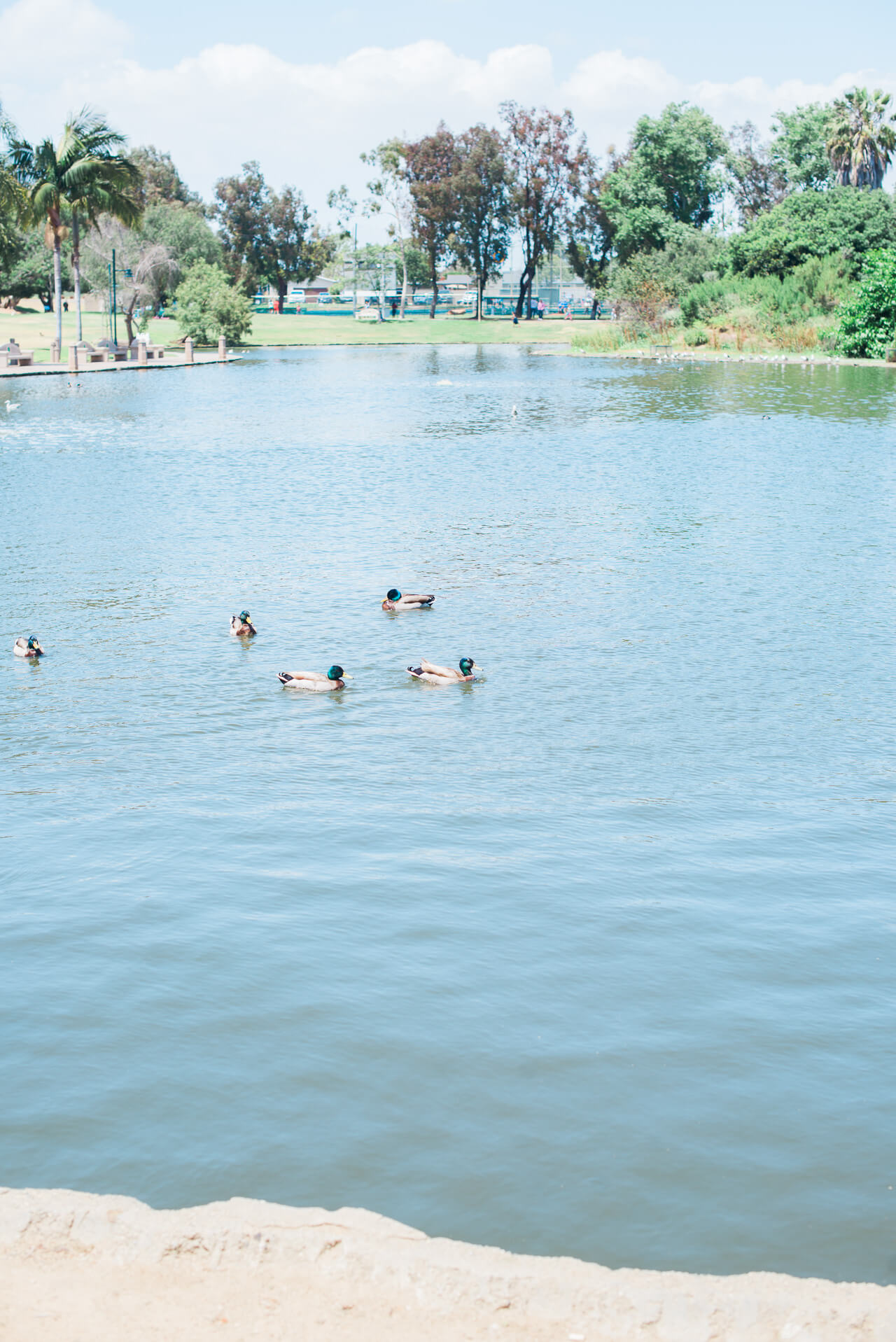 ducks at Polliwog Park in Manhattan Beach