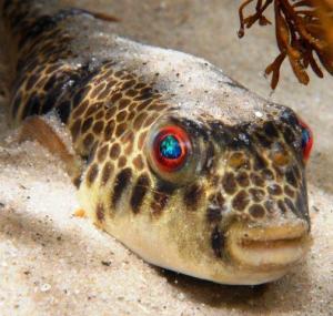 Smooth Toadfish by David Muirhead