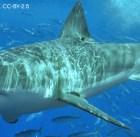 White shark by Terry Goss