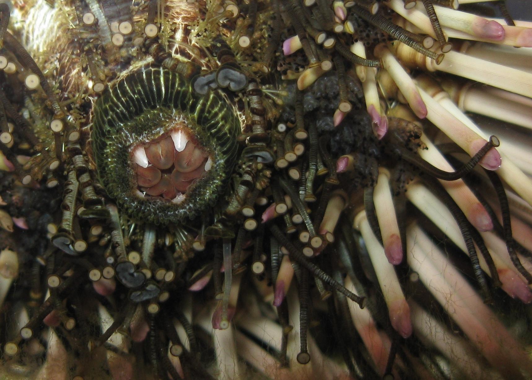 Underside of a purple sea urchin, teeth open