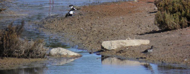 wetland shorebirds - Dan Monceaux