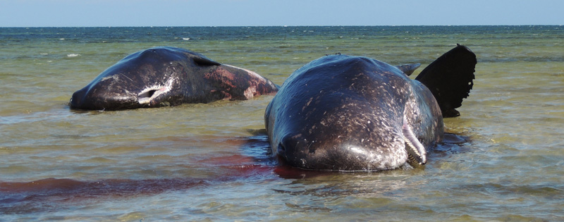 Central pair of dead sperm whales at Ardrossan Dec 8 2014 - Emma Monceaux for web