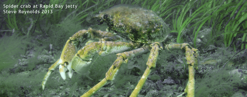 Spider crab - rapid bay jetty - steve reynolds 2013