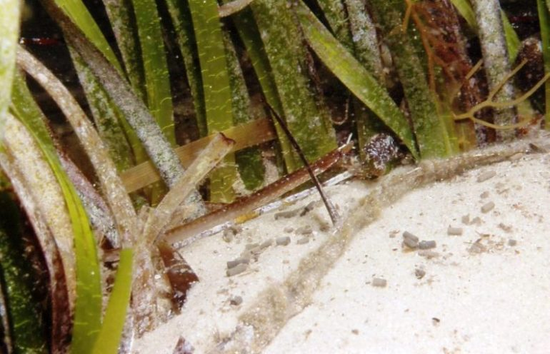 yet-another-pipefish-unidentified-@-hotspotnormanville-saold-l-r-scandsm-ci29728-1382326808n4k8g