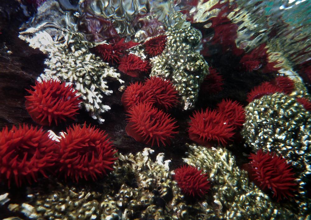 Waratah anemones, Port Noarlunga, South Australia - Dan Monceaux
