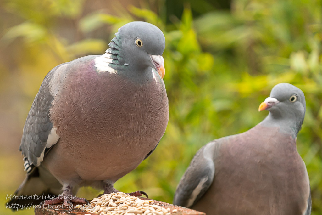 Mr & Mrs Wood pigeon