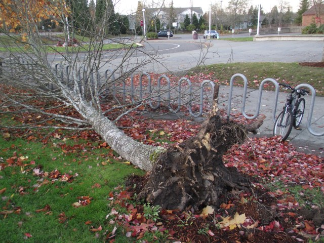 A tree downed in front of Mountlake Terrace High School.