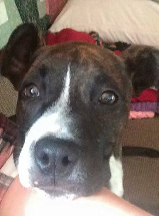 Missing puppy. Boxer pit mix, 7 months old. Name is Lady. Been missing 1 hour. Got out when people were leaving the party. Lost of off La Pierre Dr. Wearing collar and tags. Brindle fur with white stripe on nose.