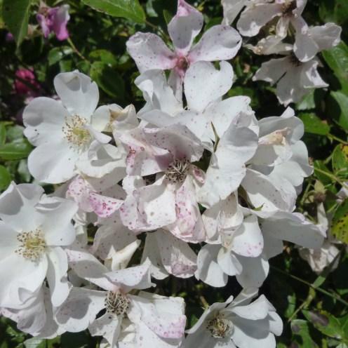 Old white rose