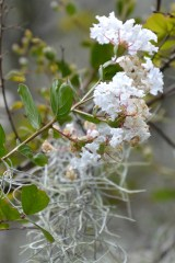 Myrtle Flower and Spanish Moss