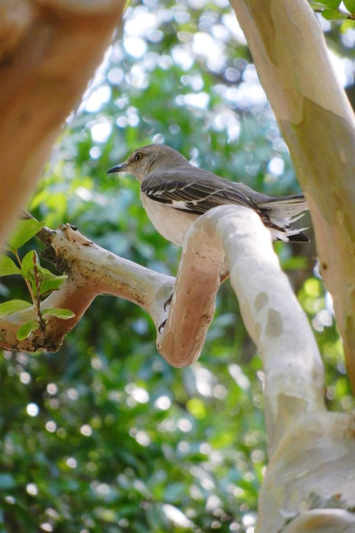 Mockingbird in Crepe Myrtle